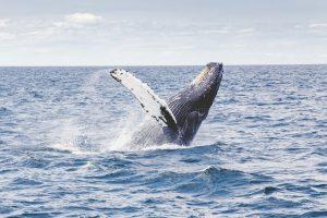 Dove e quando vedere le balene in Ecuador