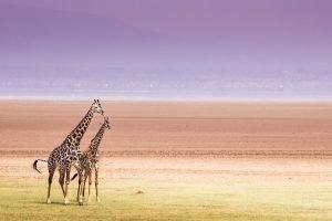 Giraffe Manyara