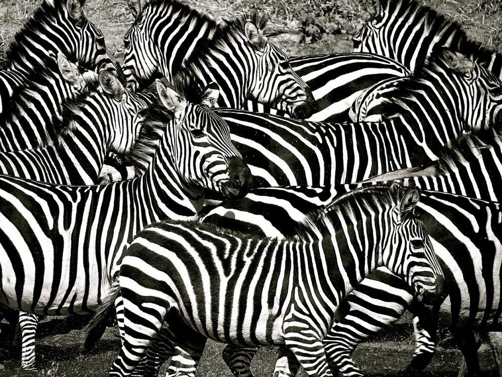zebre tanzania
