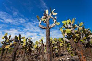 Floreana cactus