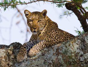 Leopardo Tanzania